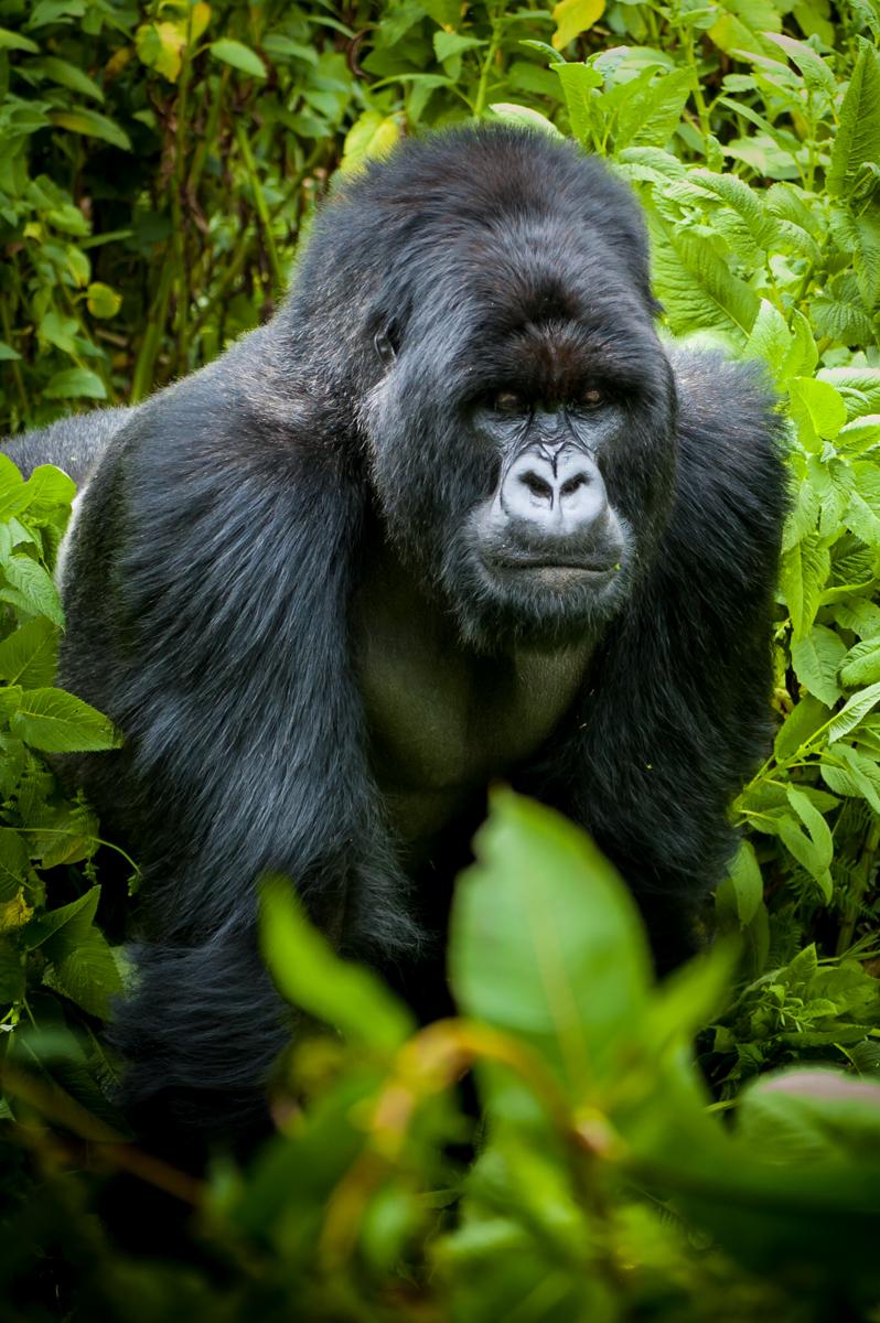 20110115-Rwanda-Gorillas-440