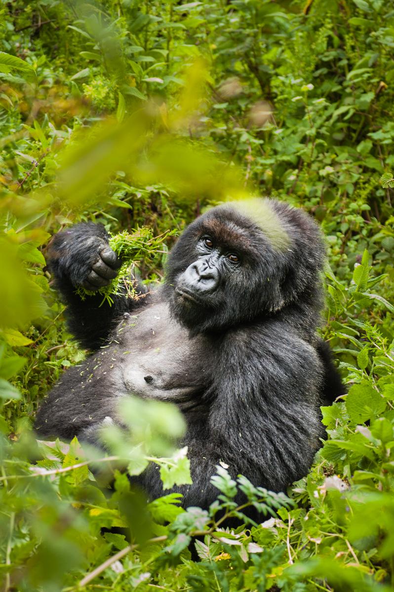 20110115-Rwanda-Gorillas-556