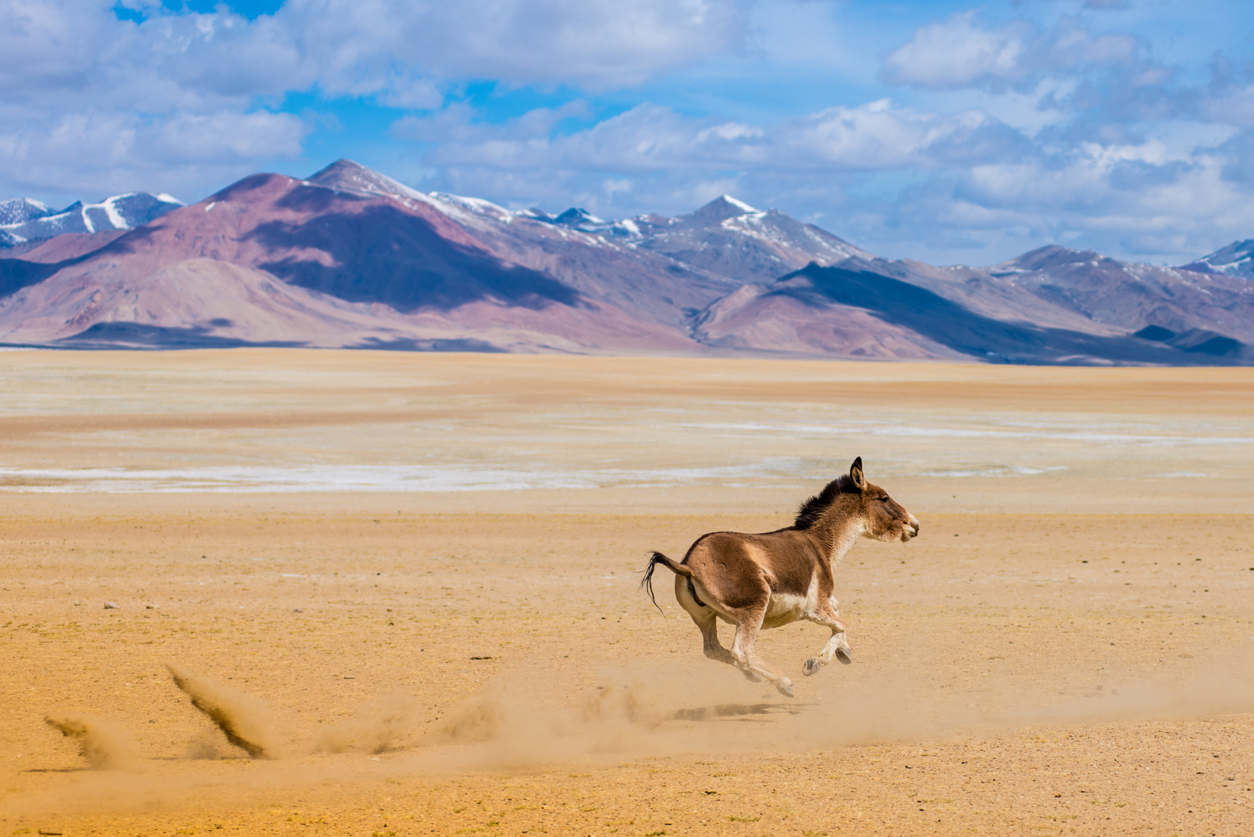 Galloping Kiang (Eqqus kiang) in the Changthang
