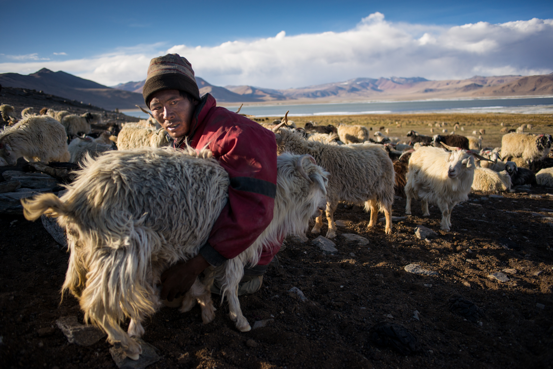 Milking time in the Changthang