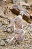 Tibetan snowcocks (Tetraogallus tibetanus)