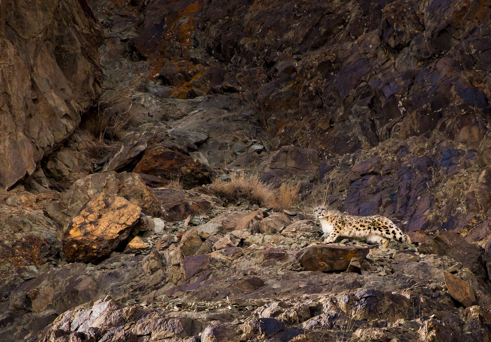 A snow leopard (Panthera uncia) in Hemis NP