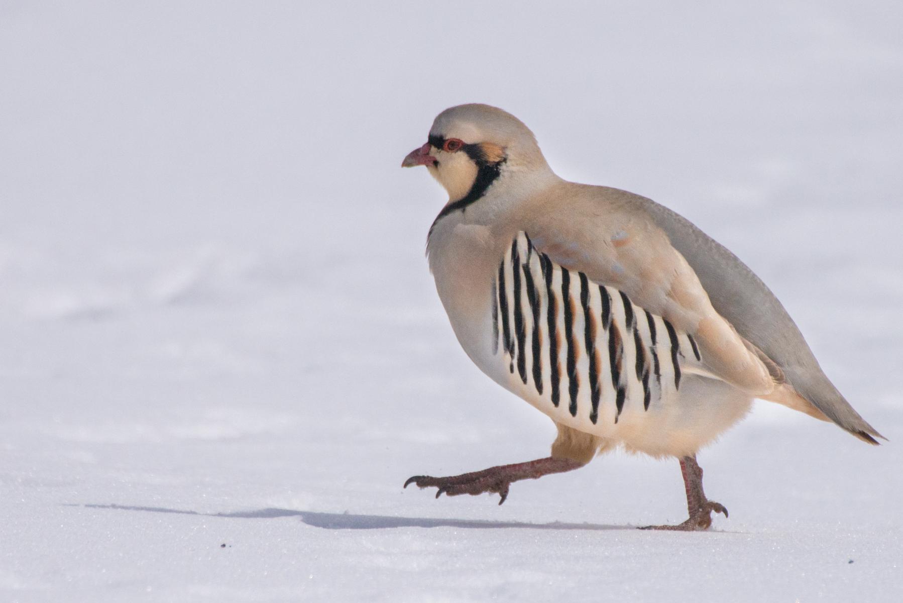 Chukar partridge (Alectoris chukar) Hemis NP