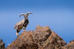 Himalayan Blue Sheep (Pseudois nayaur) in Hemis NP