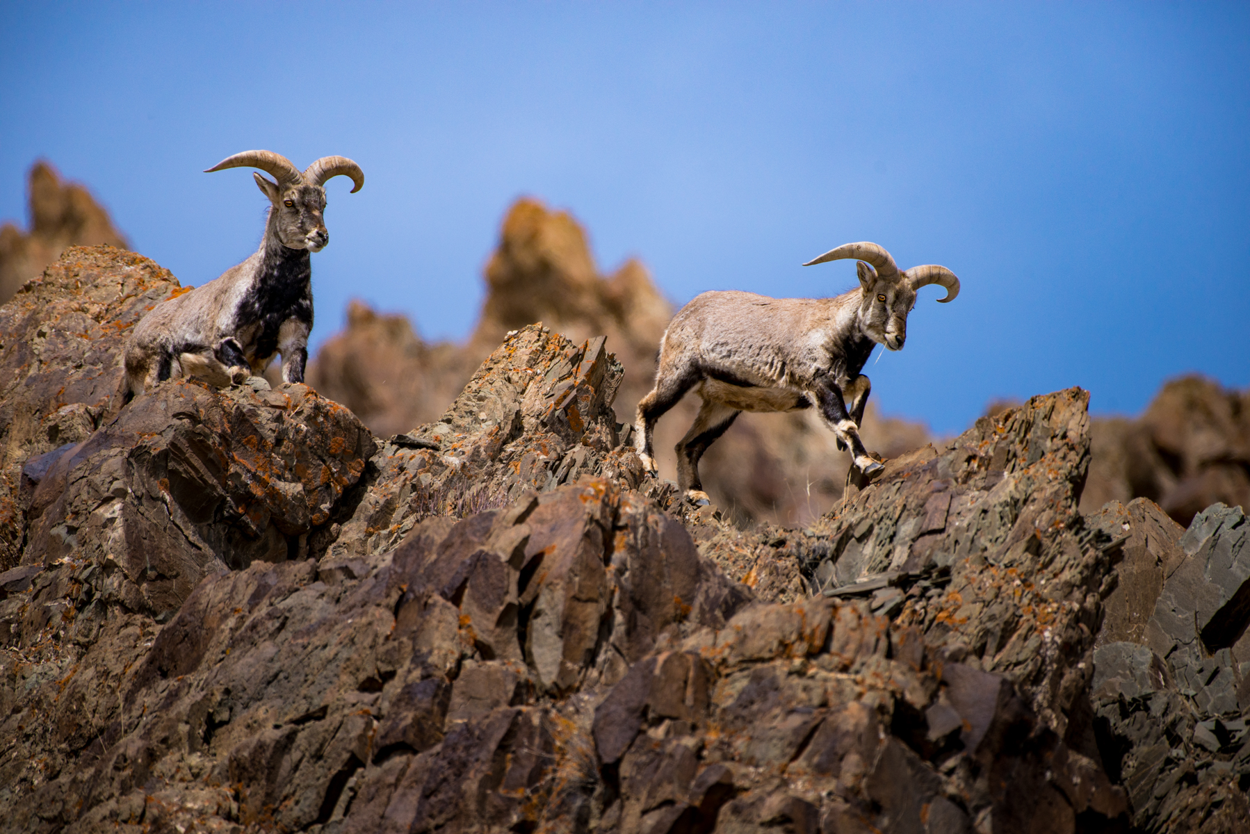 Himalayan Blue Sheep (Pseudois nayaur) in Hemis NP