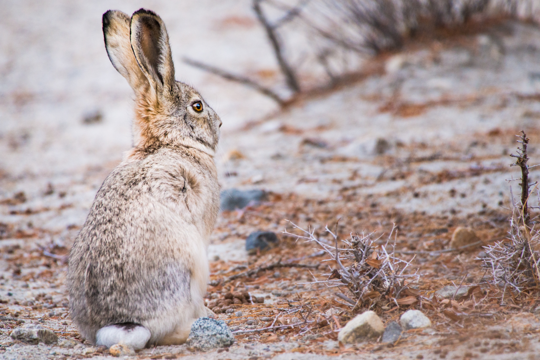 Wooly hare, Nubra Valley