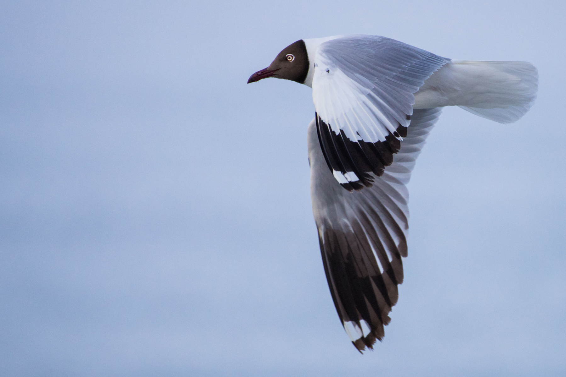 Brown headed gull, Pangong Lake