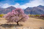 Apricot blossoms, Nubra, Ladakh