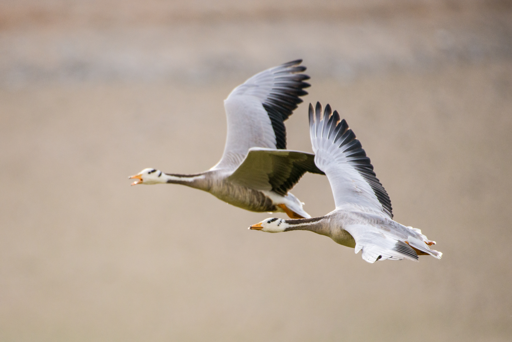 A pair of Bar headed geese (Anser indicus)