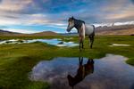 Tsetar Horse, Tso Moriri Wetlands, Ladakh