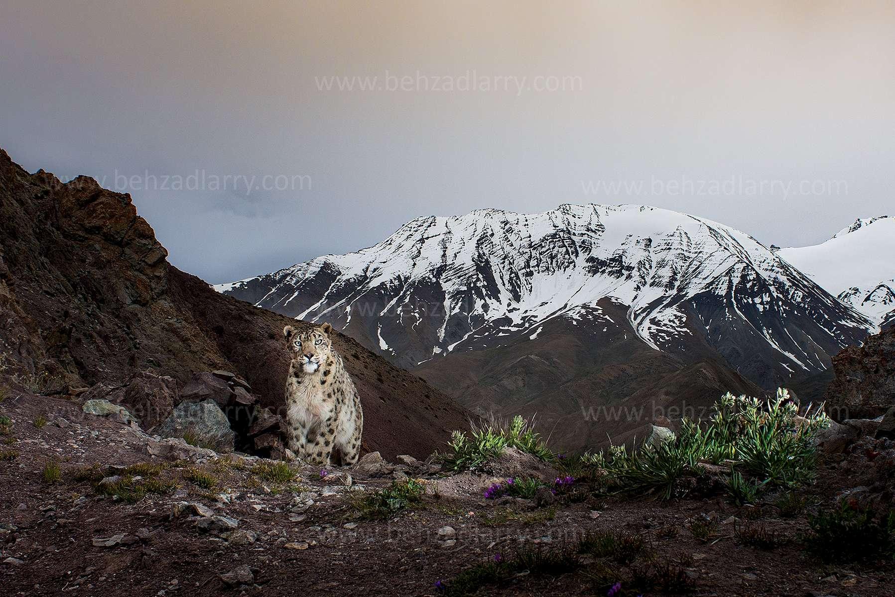 SnowLeopard-in-Spring-BehzadLarry