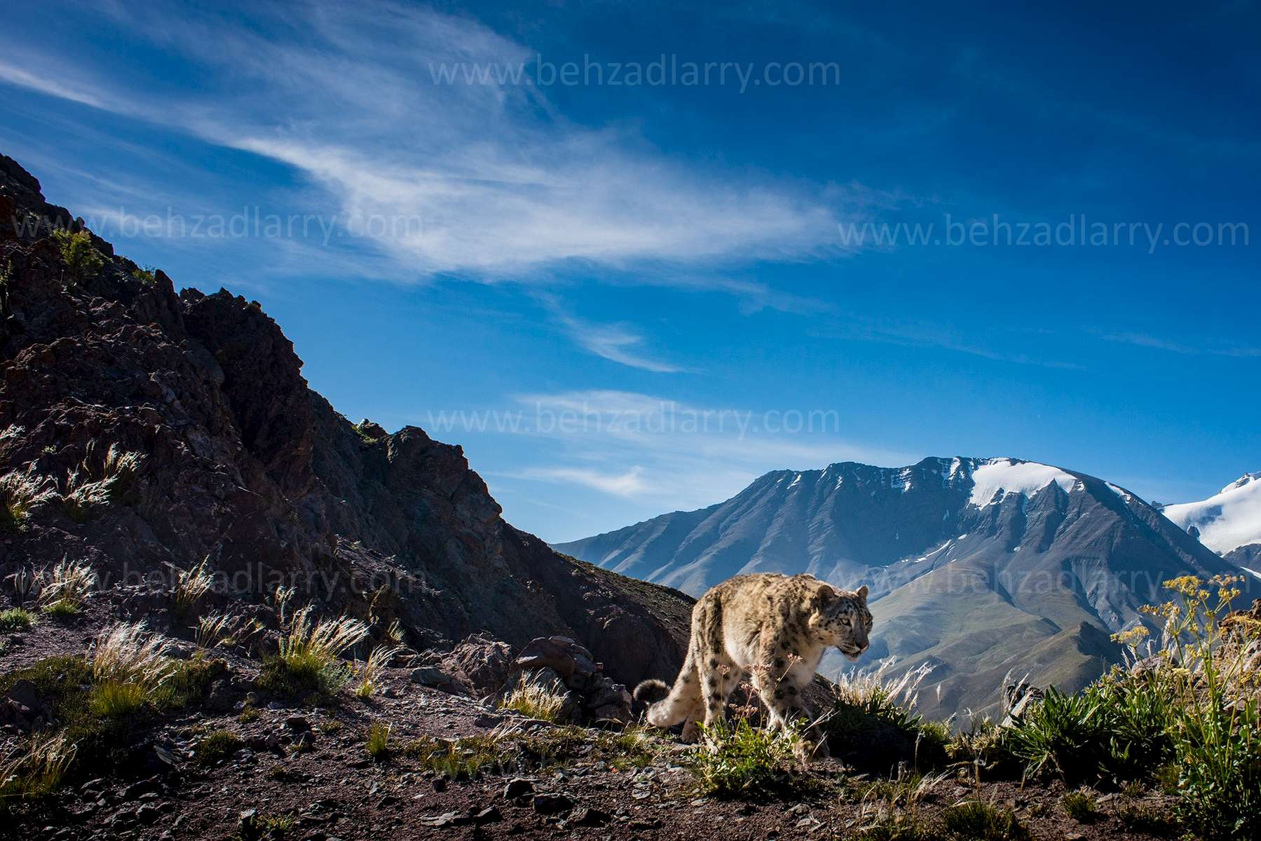 SnowLeopard-on-ridge-BehzadLarry