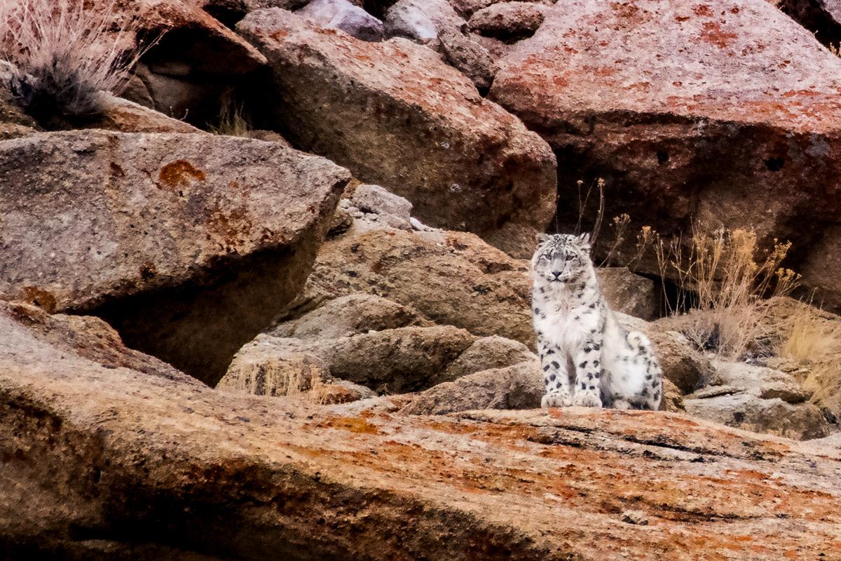 Snow Leopard (panthera uncia) in the Ladakh Range