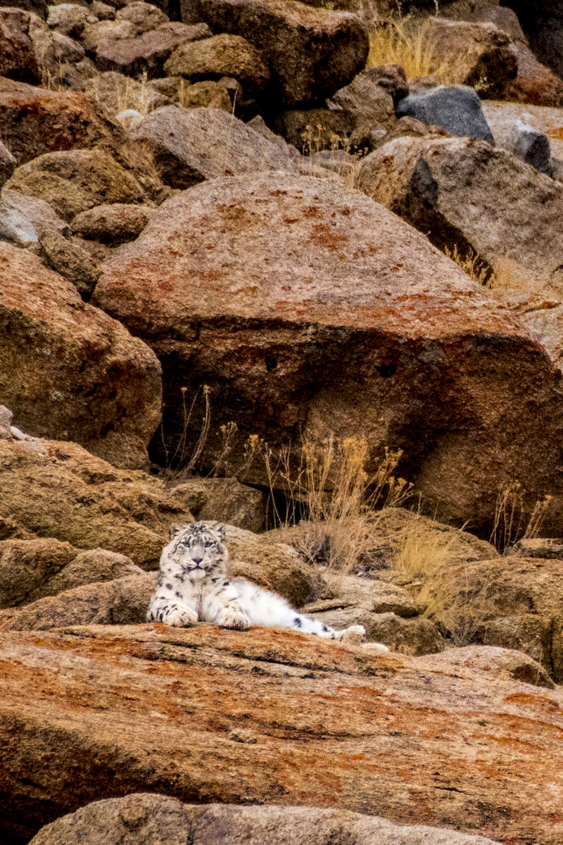 Snow Leopard (panthera uncia) in the Ladakh Range
