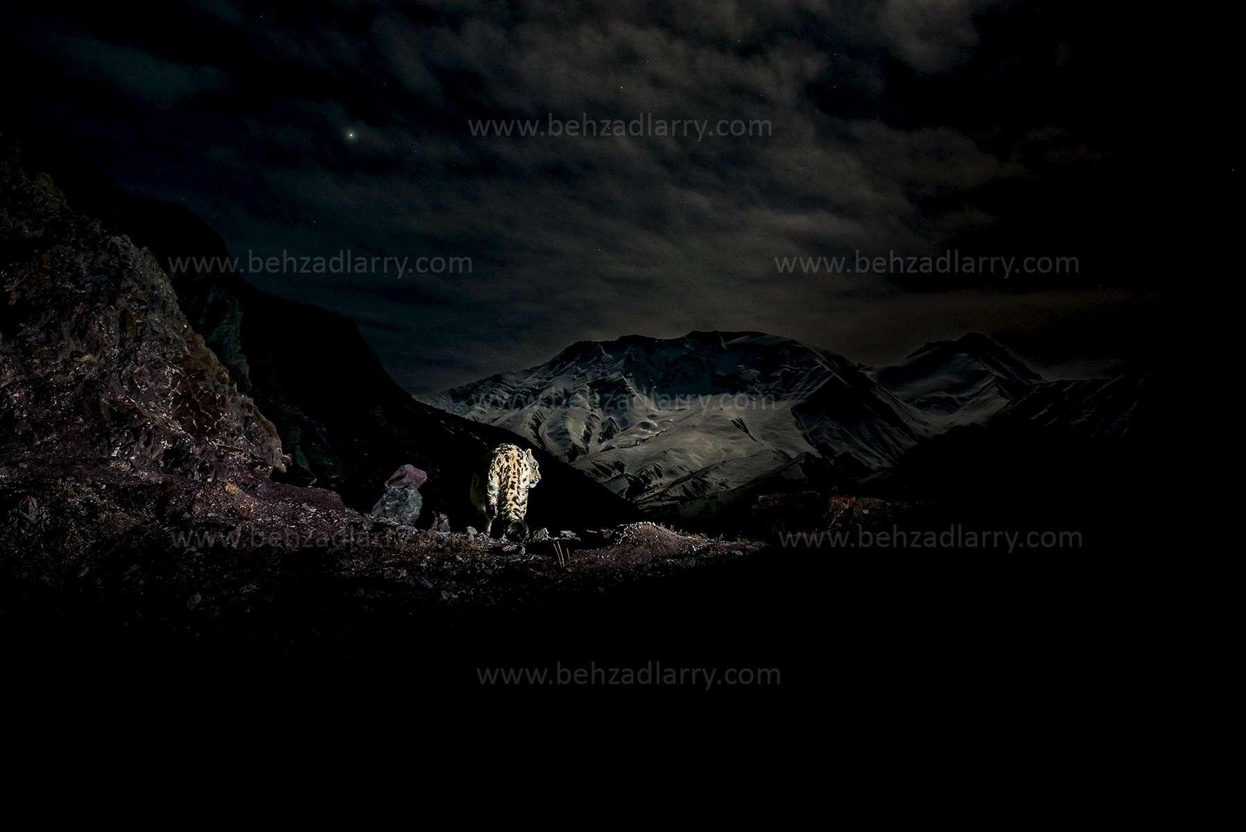 moonlit-landscape-snowleopard-behzadlarry