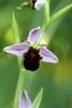 Bee-Orchid-var-atrofuscus