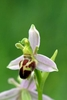 Bee-Orchid-var-belgarum