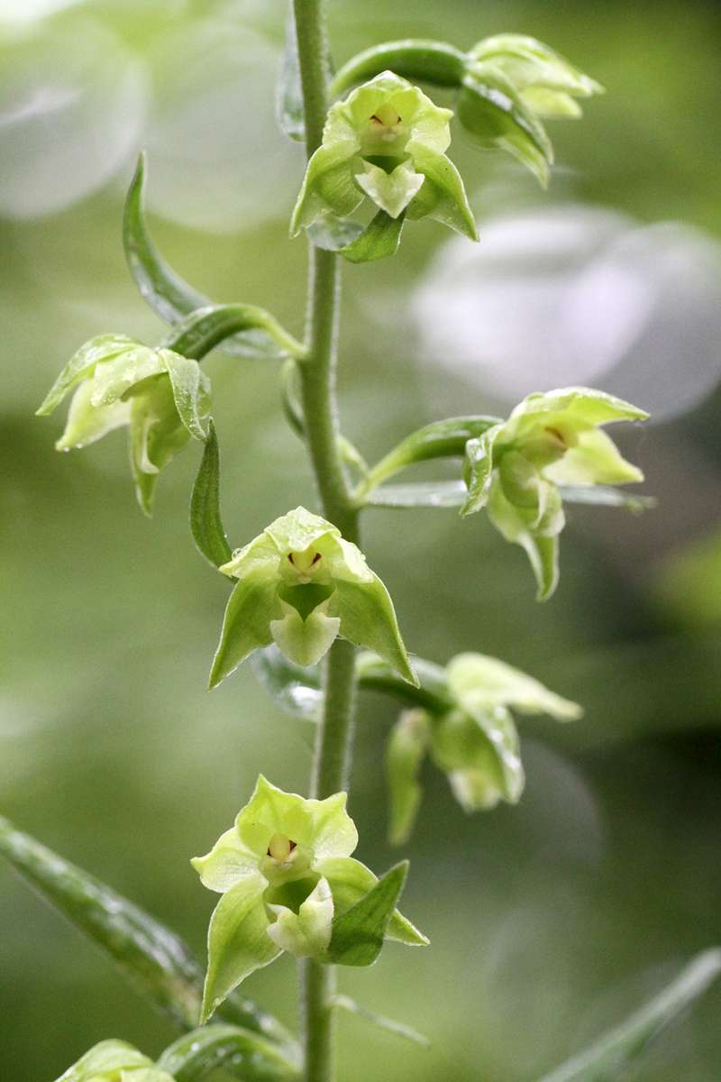 Broad-leaved-Helleborine-var-chlorantha
