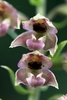 Broad-leaved-Helleborine