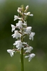 Chalk-Fragrant-Orchid-var-alba