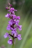 Chalk-Fragrant-Orchid