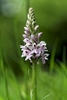 Common-Spotted-Orchid