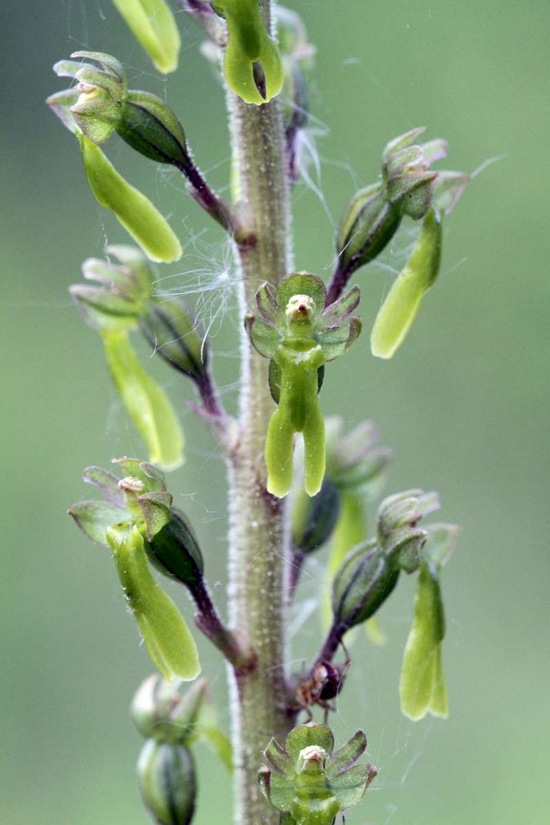 Common-Twayblade