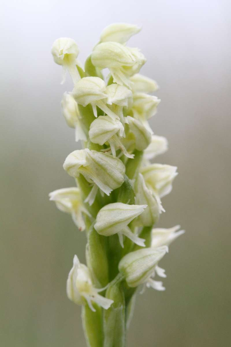 Dense-flowered-Orchid