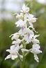 Early-Purple-Orchid-var-alba-type