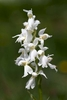 Early-Purple-Orchid-var-alba