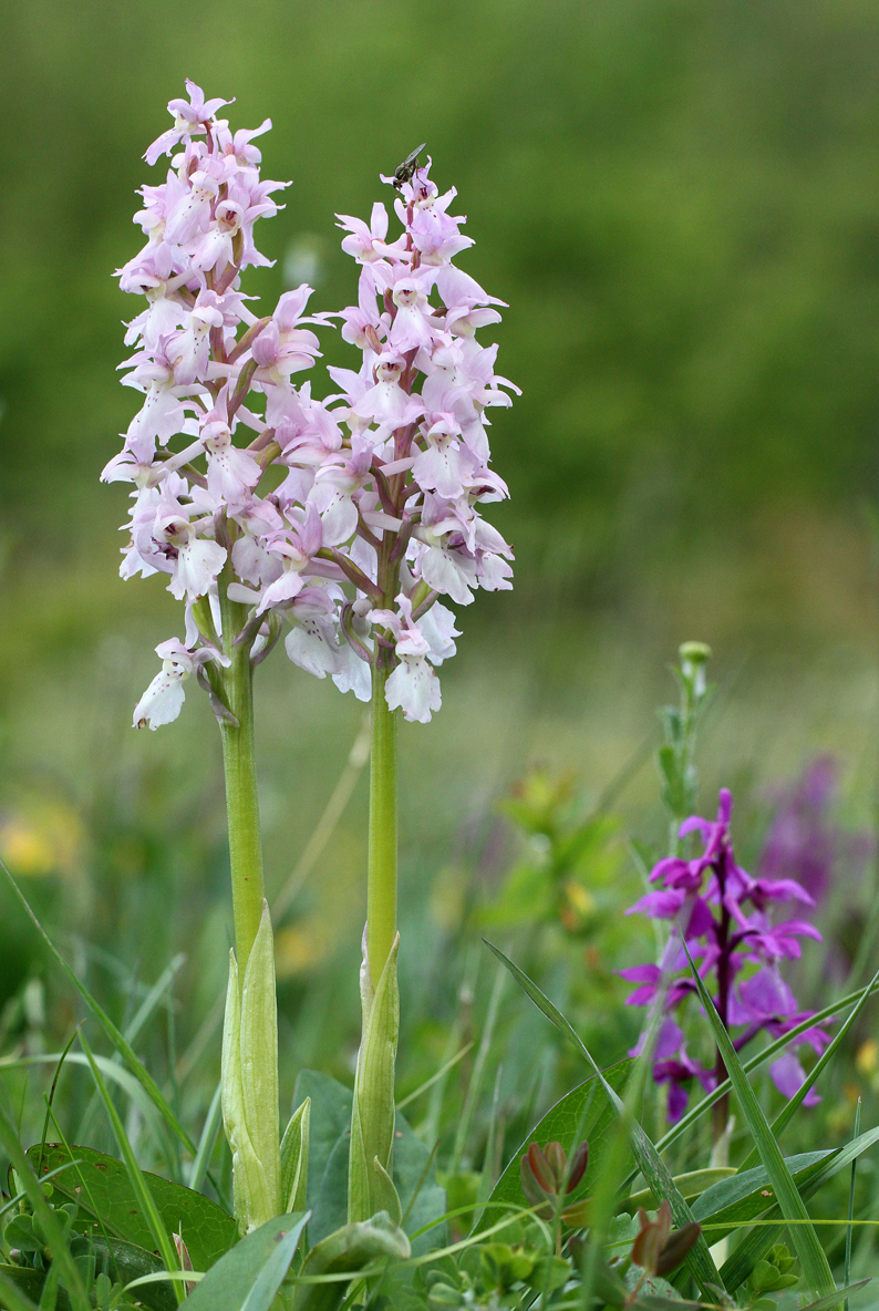 Early-Purple-Orchids