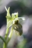 Early-Spider-Orchid-var-flavescens