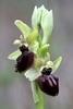 Early-Spider-Orchid