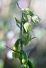 Green-flowered-Helleborine