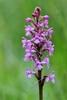 Heath-Fragrant-Orchid