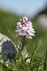 Heath-Spotted-Orchid