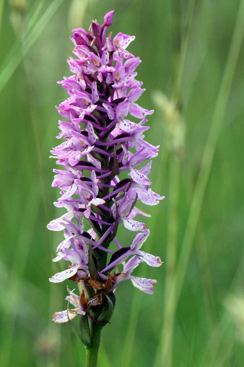 Heath-Spotted-x-Heath-Fragrant-Orchid