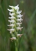 Irish-Lady_s-tresses