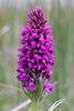 Irish-Marsh-Orchid