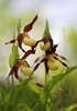 Lady_s-Slipper-Orchid