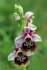 Late-Spider-Orchid