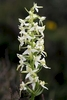 Lesser-Butterfly-Orchid