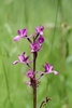 Loose-flowered-Orchid