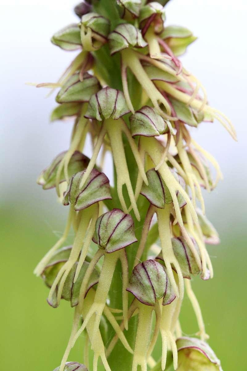 Man-Orchid