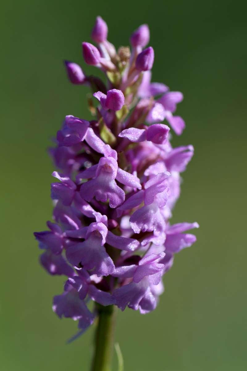 Marsh-Fragrant-Orchid