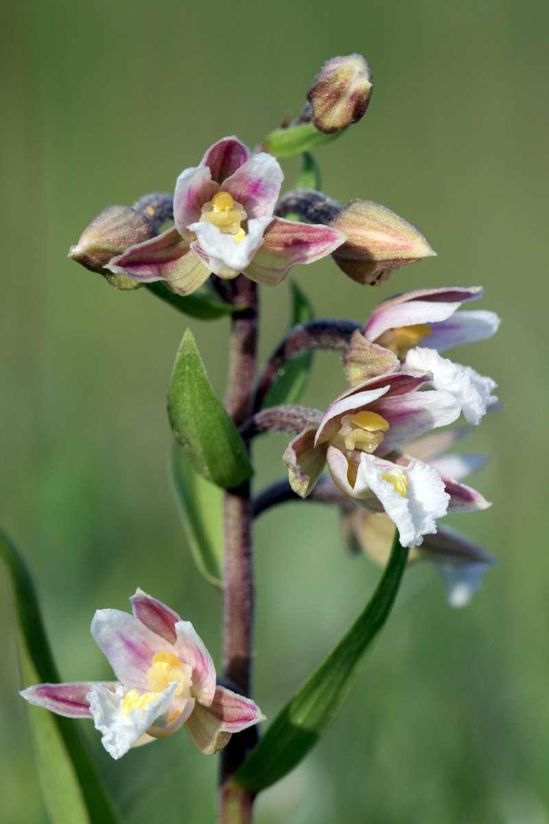 Marsh-Helleborine
