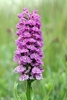 Northern-Marsh-x-Common-Spotted-Orchid-_Lindisfarne_