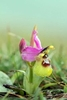 Sawfly-Orchid