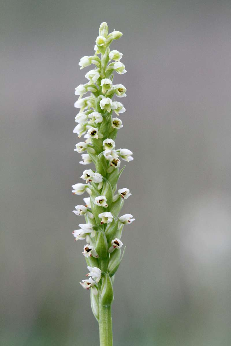 Small-White-Orchid