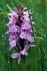 Southern-Marsh-Orchid